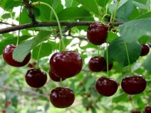 Полезные вещества в вишне