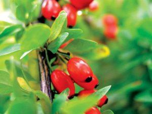 Цветение ягод барбариса