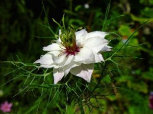 Цветок тмина