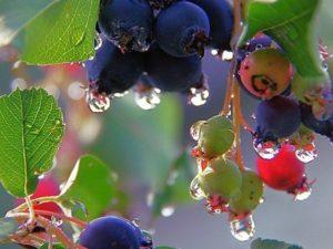 Применение ягод ирги