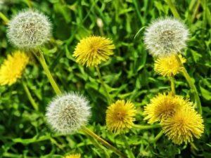 Цветение одуванчиков