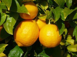 Лимон на дереве