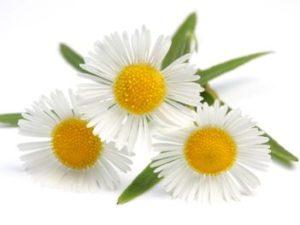 Один друг от всех недуг: лечебные свойства и противопоказания ромашки лекарственной